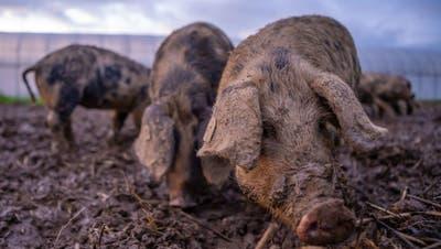 Zuger Freilandschweine reduzieren Problemunkraut Erdmandelgras