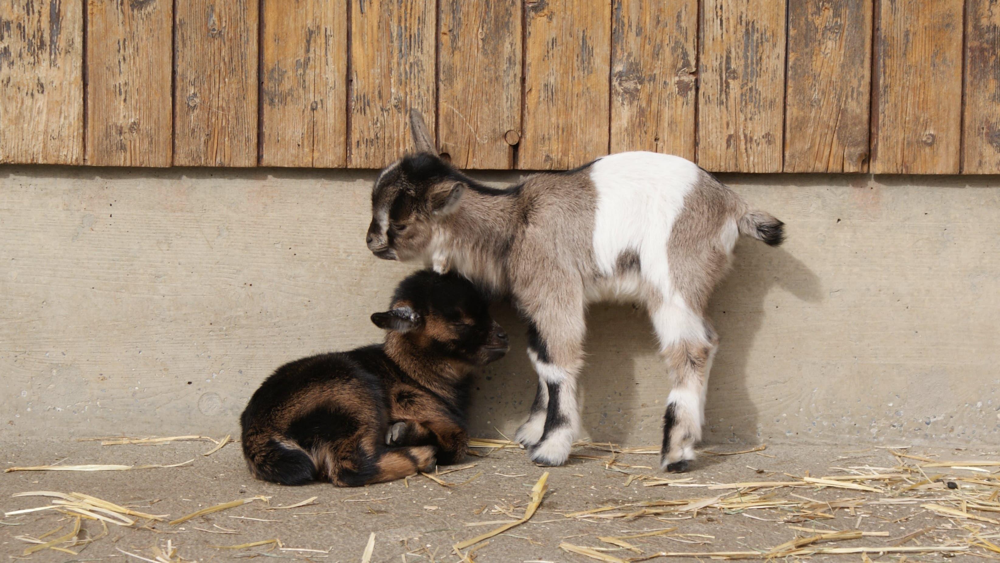 In diesem Frühling verzeichnete der Tierpark zudem zahlreichen Nachwuchs: Unter anderem bei den Zwergziegen (...)