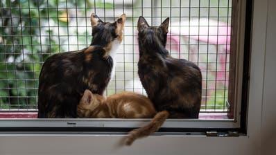 Ich sei es, der eine Katze wollte, sagt meine Frau. (Michel Canonica)