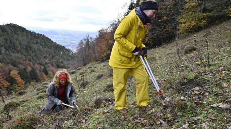 Wertvolle Arbeit: Freiwillige helfen beim Facelifting für die Magerwiesen im Jura