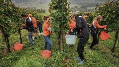 Mitglieder des Turnvereins Wilen-Neunforn bei der Wümmet für ihren Jubiläumswein. (Bild: Reto Martin)