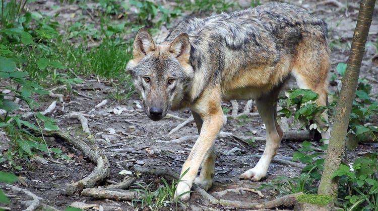 Regierung sagt Ja zur Lockerung des Schutzes von Luchs und Wolf