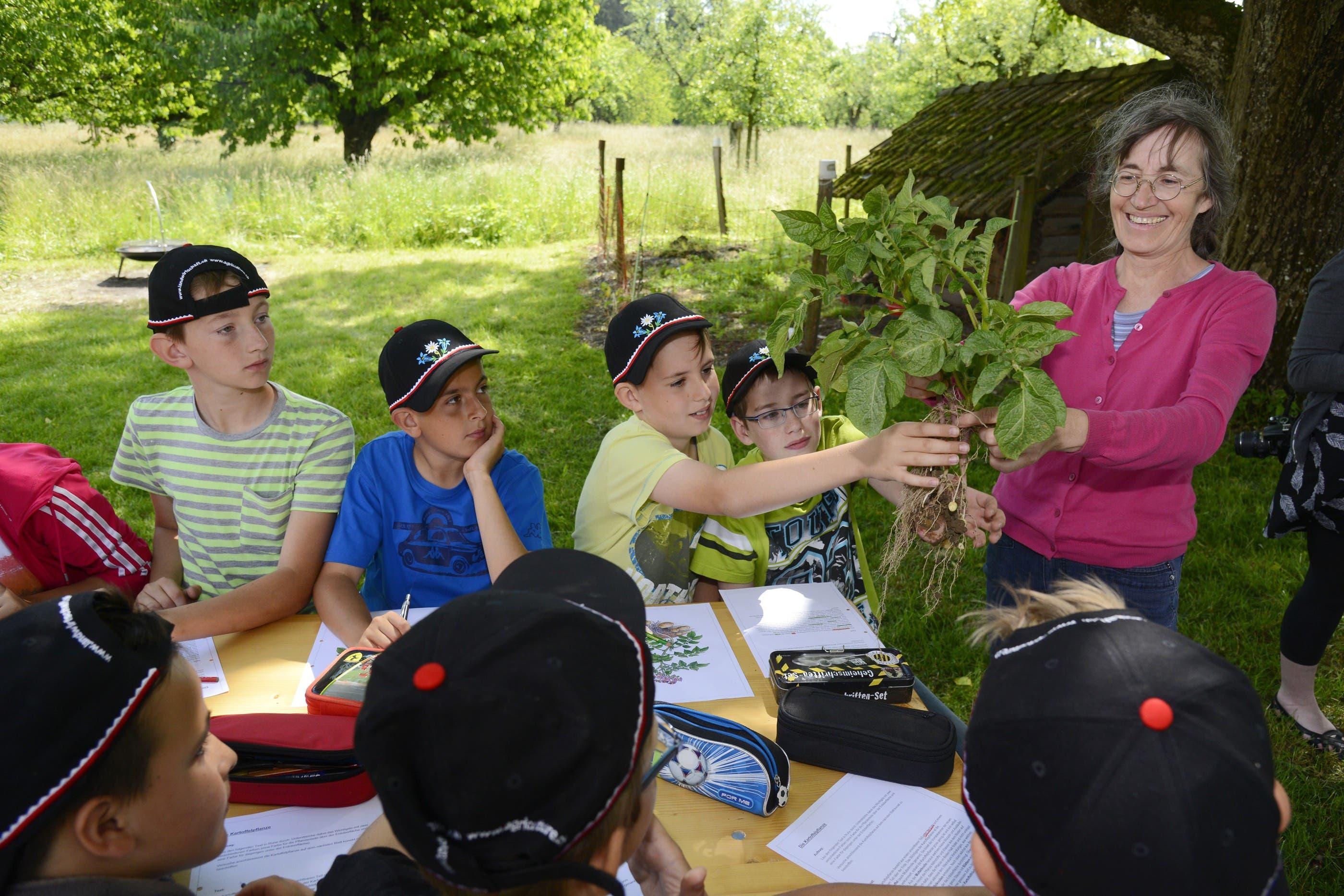 Diese Pflanze haben die Schüler auf dem grossen Kartoffelfeld ausgegraben. Jetzt wird sie genauer angeschaut.
