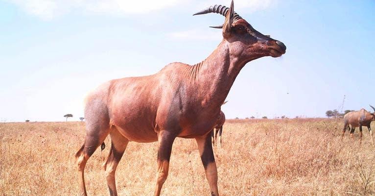 Eine Topi-Antilope