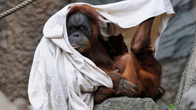 Orang-Utan-Dame kommt frei: Sie hat ähnliche Rechte wie Menschen