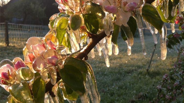Frost macht die Ernte grösstenteils unbrauchbar