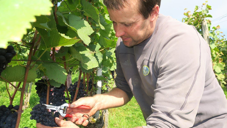 Frost und Fliegen bedrohten den Limmattaler Wein