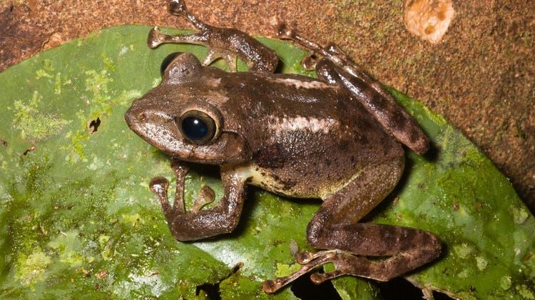 Ehrung Heini Hedigers: Dieser Frosch erhält seinen berühmten Namen
