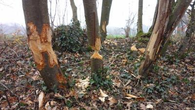 Entlang der Aare sind die «Holzfäller» am Werk