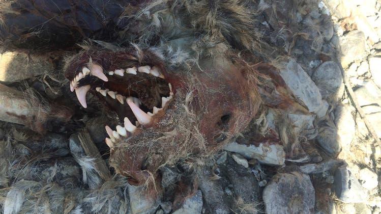 Illegaler Wolf-Abschuss: Wilderer erledigt den Job der Jäger – doch zählt dieses Argument?