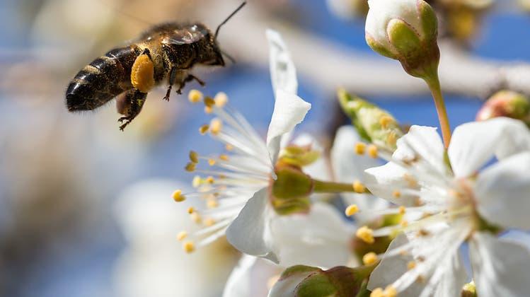 Viel Frühlings-, aber kaum Sommerhonig: Schuld sind die Stubenhockerbienen
