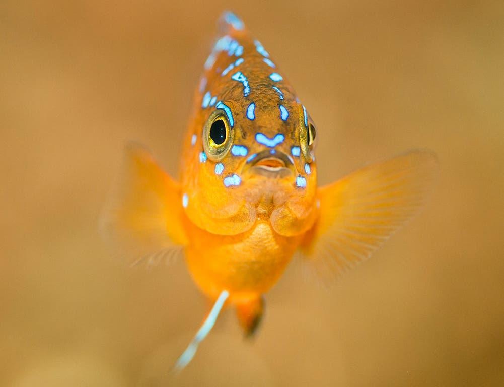 Garibaldifisch Garibaldifische erhielten ihren Namen aufgrund ihrer leuchtend orangen Färbung, welche an die Anhänger des italienischen Feldherrn Giuseppe Garibaldi, die Rothemden, erinnert. Die Riffbarsche verteidigen ihr Revier während der Brutzeit vehement auch gegen grössere Eindringlinge.