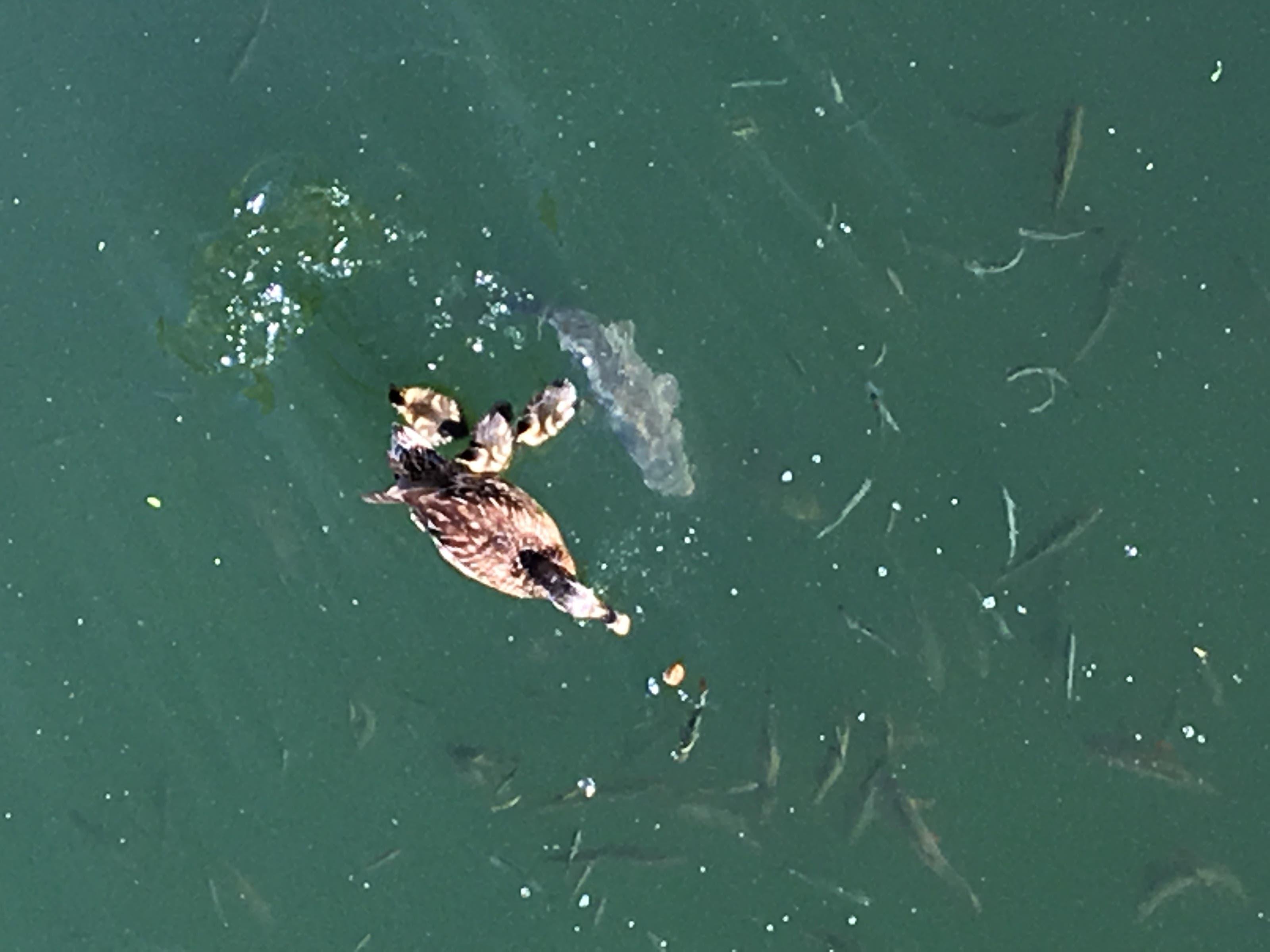 undefined Es hat Nachwuchs gegeben in unserem Teich. Das Futter muss allerdings mit dem frechen Karpfen und dem Rest der Fische geteilt werden!