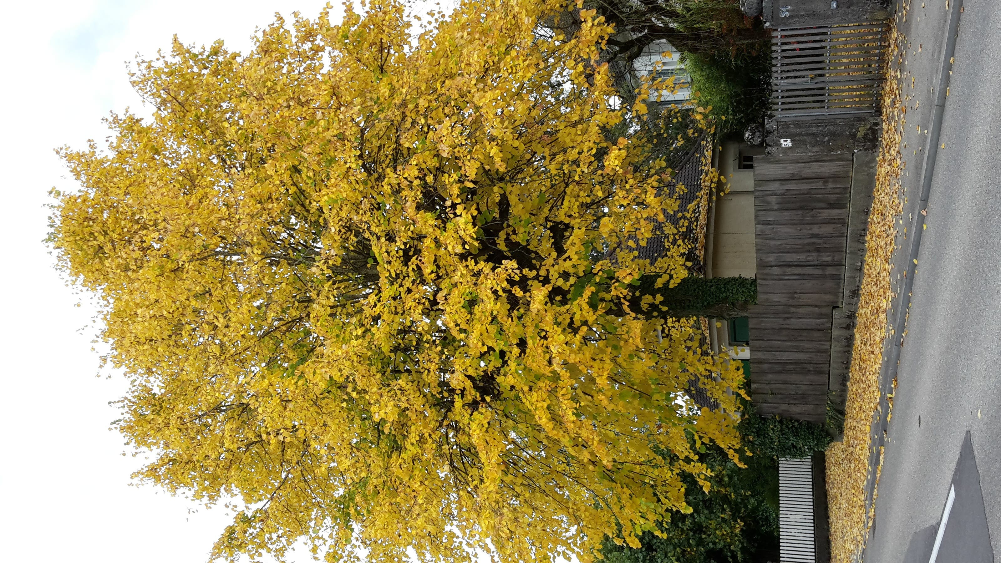 undefined Der goldene Herbst im wahrsten Sinn des Wortes. Einmalig von Mutter Natur vollbracht.