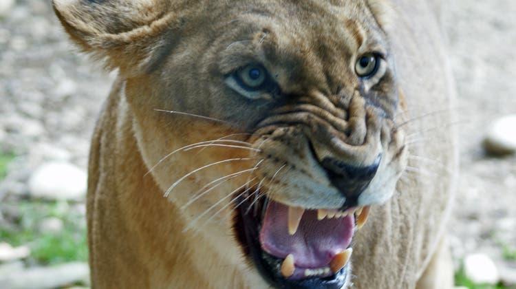 Löwen, Tiger, Jaguar – so reagiert der Zolli, wenn Raubtiere ausbüxen wie in Deutschland
