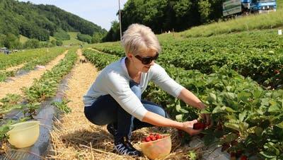 Jahrhundertfrost überlebt: Die ersten Erdbeeren sind erntereif