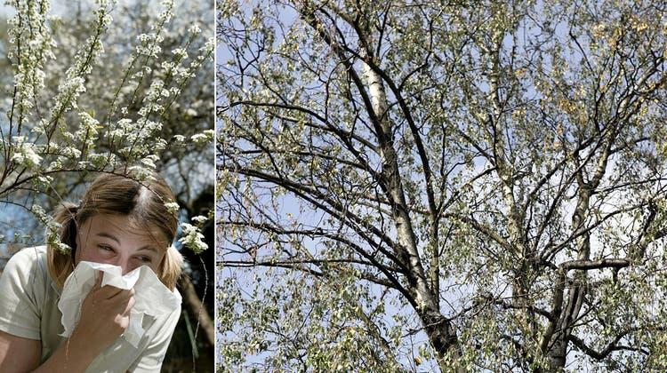 «Gesundheit!» – In diesem Frühling gibt es in Basel kein Entrinnen vor den Pollen