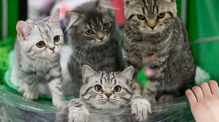 «Über 100'000 tote Kätzchen pro Jahr» – nun fordert Petition Kastrationspflicht