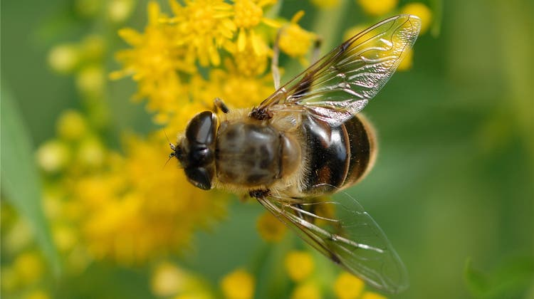 Der Wert von Zürcher Bienen liegt bei 23 Millionen Franken