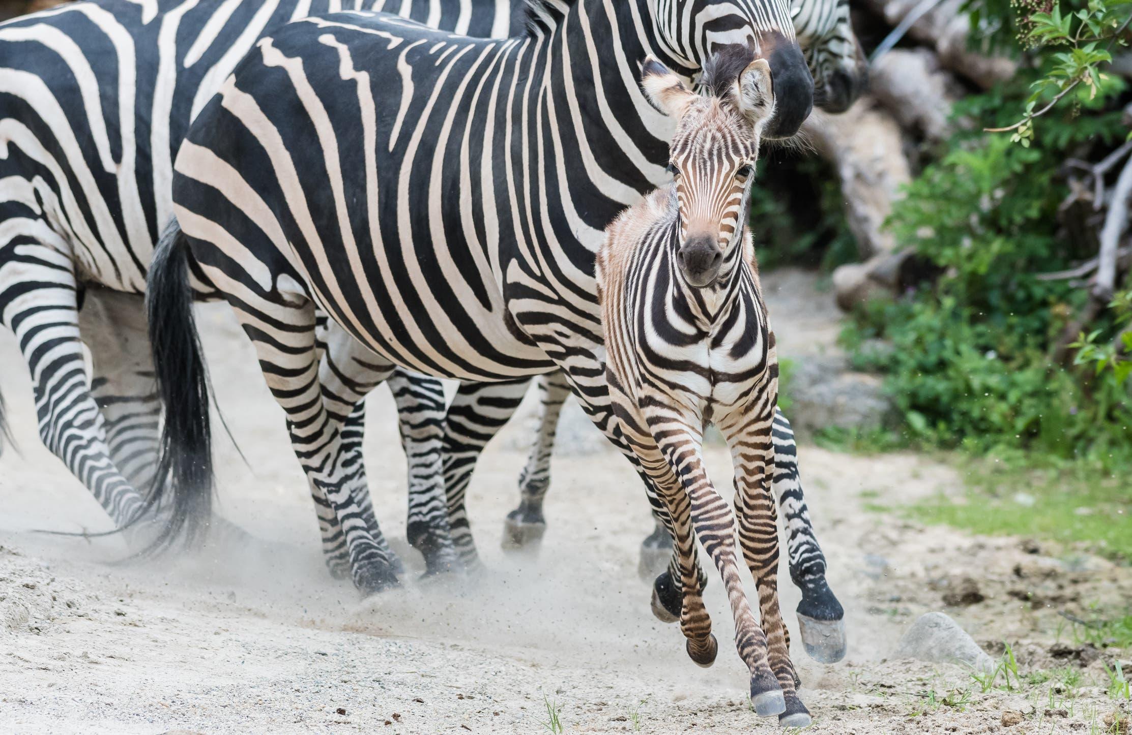 Das versetzte die Tier-WG auf der Afrikaanlage in Aufregung.