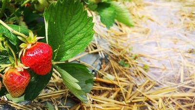 Regen beschädigt viele Erdbeeren – Aber: «Jetzt ist der ideale Zeitpunkt zum Selberpflücken!»