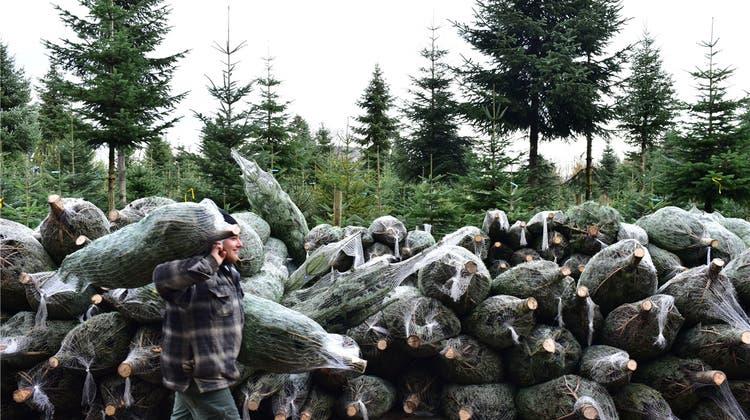 Weihnachtsbäume statt Baumschule auf dem «Chrützfeld»