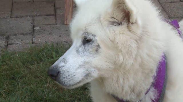 Brutal ausgerottet: Im Aargau lebt der älteste «Inuit Dog» der Welt