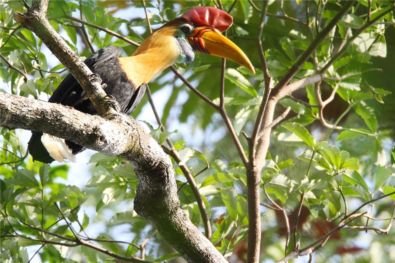 Der Helmhornvogel ist immer so hübsch herausgeputzt, als ob eine Party anstehen würde.