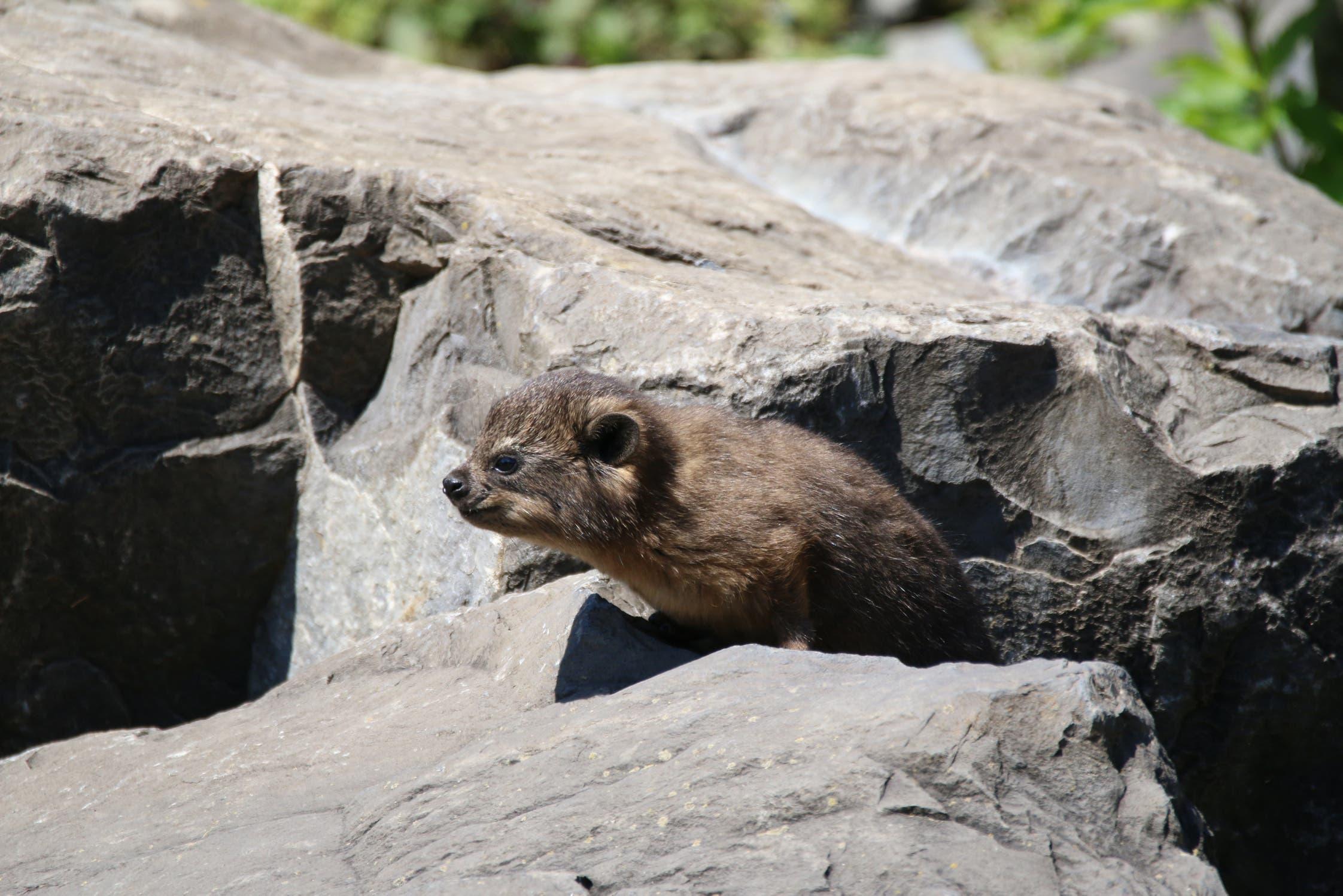 Nachwuchs bei den Klippschliefern im Zürcher Zoo