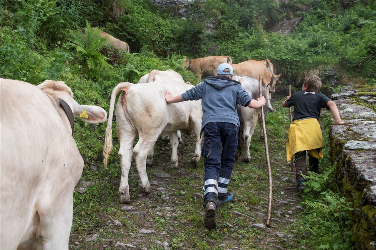 Besser ein Klaps als ein Stockschlag: Denn auf der Alpweide müssen die Tiere für die Pflege zahm sein.