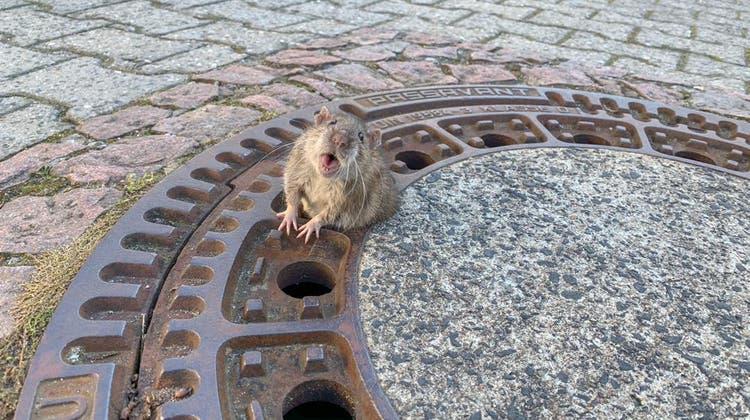 Zu dick für den Gullideckel: Fette Ratte löst Rettungsaktion aus