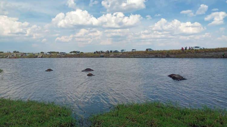 Auf der Flucht vor Löwen: Mehr als 400 Büffel ertrinken in Fluss