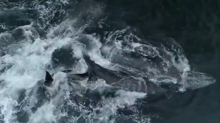 Brutale, aber gewaltige Naturaufnahmen: Grauwal-Mutter kämpft vier Stunden lang um ihr Kalb