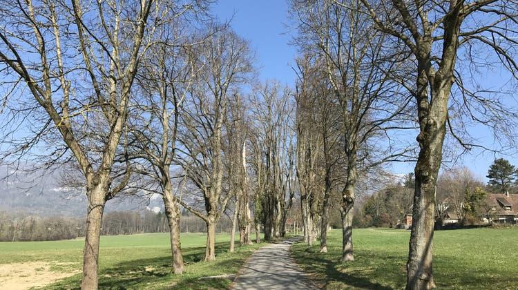 Die Stadt zählt ihre grünen Ecken: Diese Bäume in Solothurn sind schützenswert