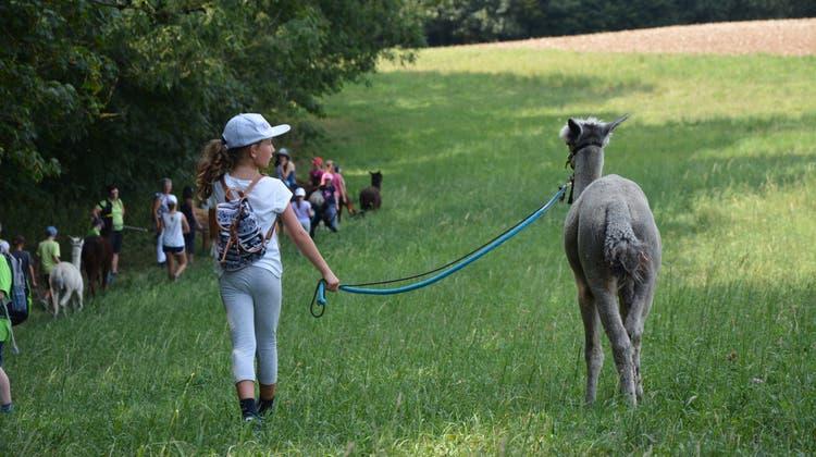«Was? Die spucken?» – Der etwas andere Spaziergang mit Alpakas und Lamas