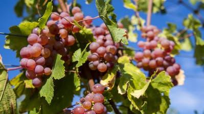 Jetzt ernten Winzer in der ganzen Schweiz ihre süssen Trauben. (Bild: Keystone)