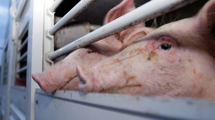 Angst, Stress und unnötiges Leiden: Waadtländer Schlachthöfe wegen Tierquälerei angezeigt