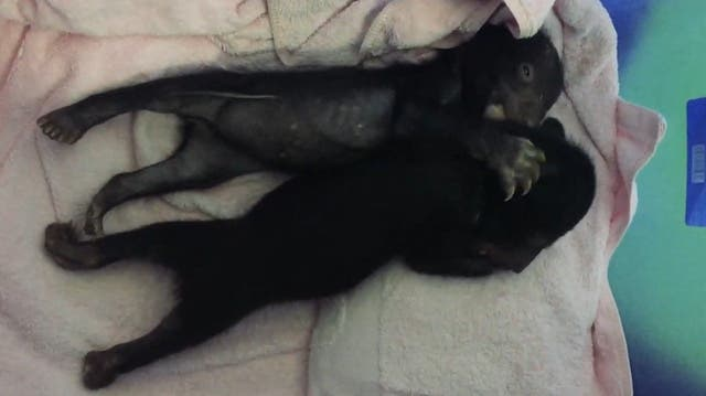 Gerettet: Diese zwei Bären hatten einen schwierigen Start ins Leben