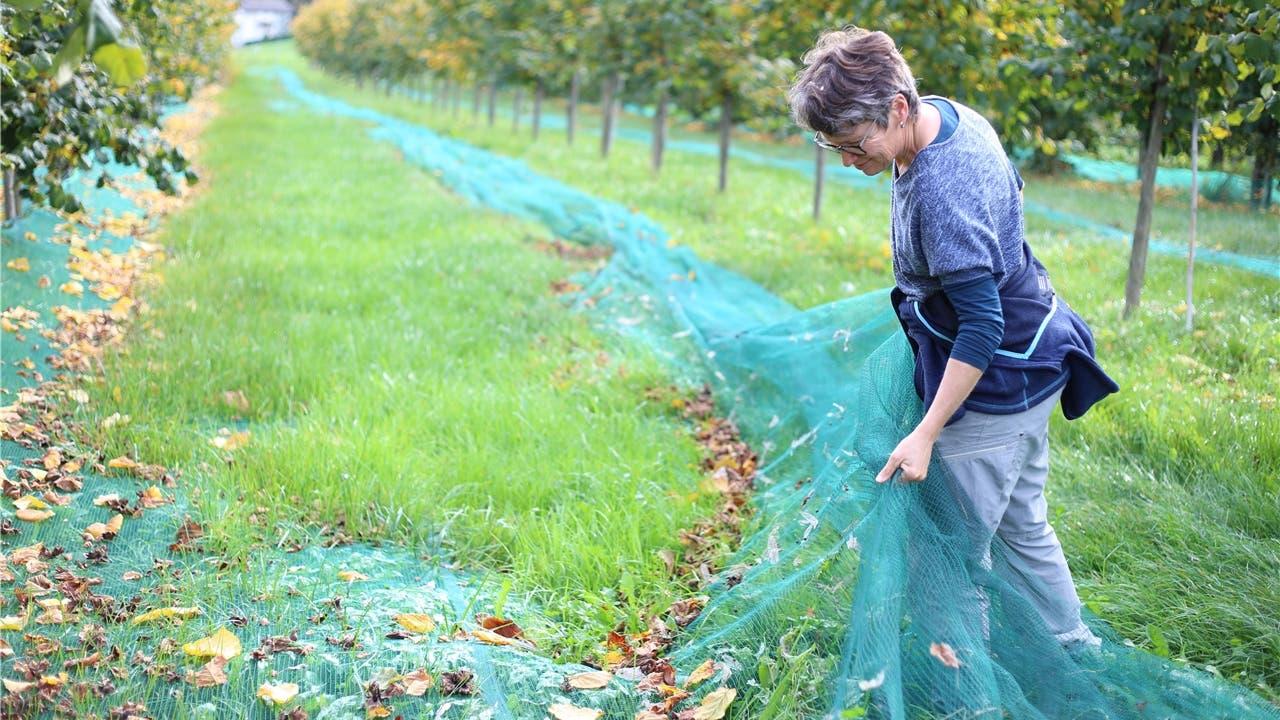 Brittnauer Familie pflanzt Haselnüsse an