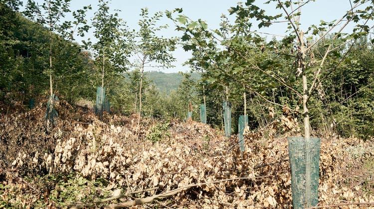 Schweizer Wälder leiden unter den Hitzesommern - Forscher sind besorgt