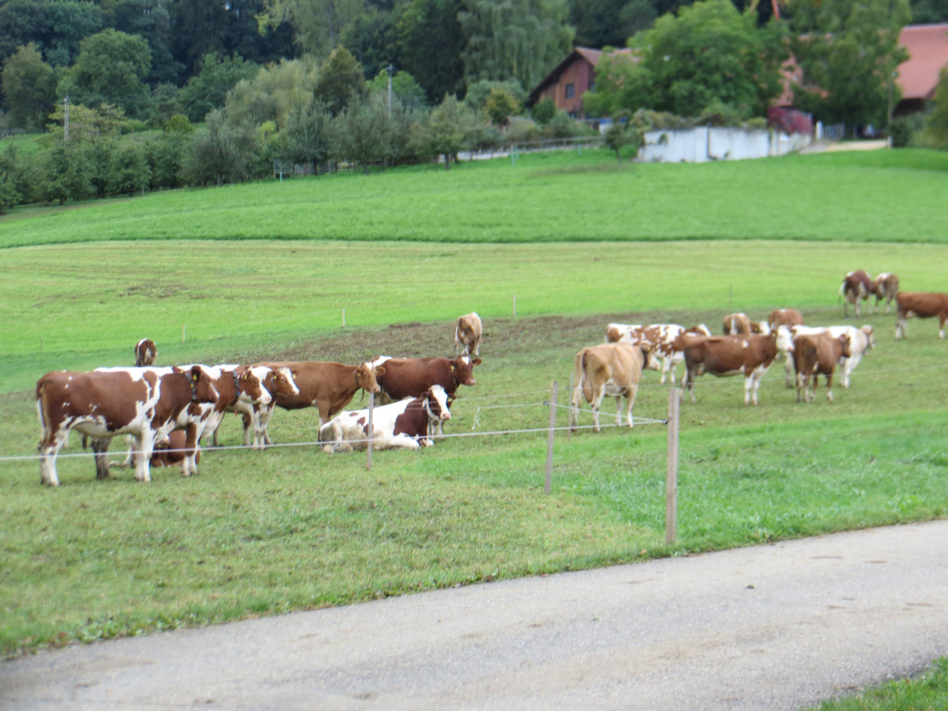undefined Es hatte auch die Kühe auf der Weide.