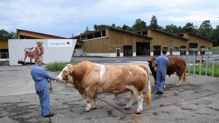 Die Stiere beziehen die neuen Stallungen
