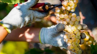 Baselbieter Weinjahrgang: Zu wenig Trauben, aber sehr gute Qualität