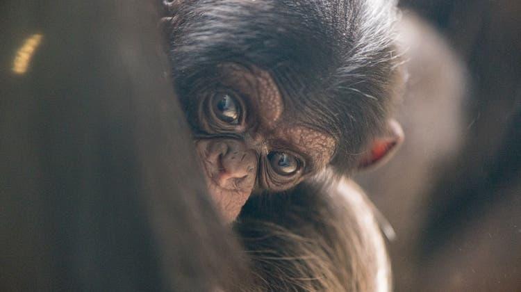 Jö, Äffli: Das sind die Neuen im Zolli – Nachwuchs bei Schimpansen und Okapi