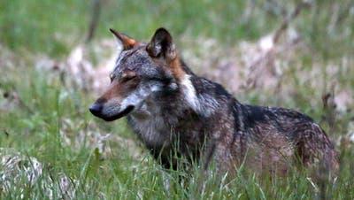 Wolf reisst mehrere Schafe in Appenzell und Urnäsch