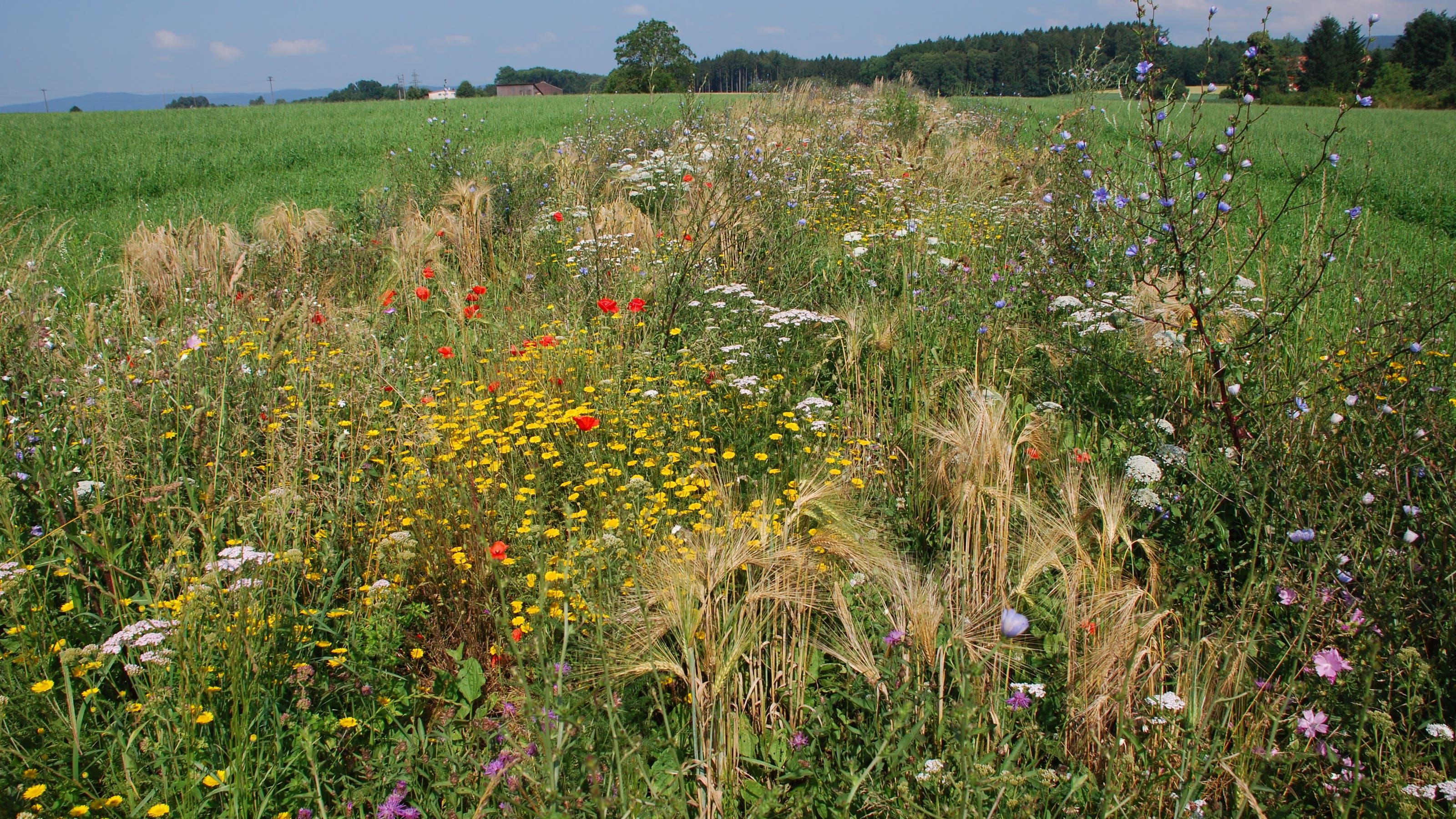Eine prächtige Buntbrache auf dem Möhliner Feld. Sie dient der ökologischen Vernetzung von Lebensräumen.