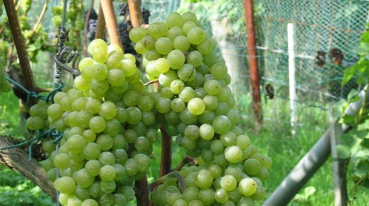 Wein aus Bachteler Rebberge könnte zum Spitzenjahrgang werden