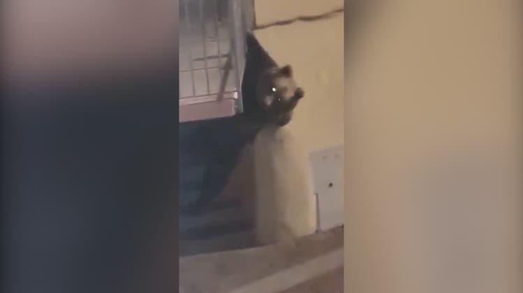 «Mamma mia!» Im norditalienischen Calliano wollte ein Bär in eine Wohnung einbrechen