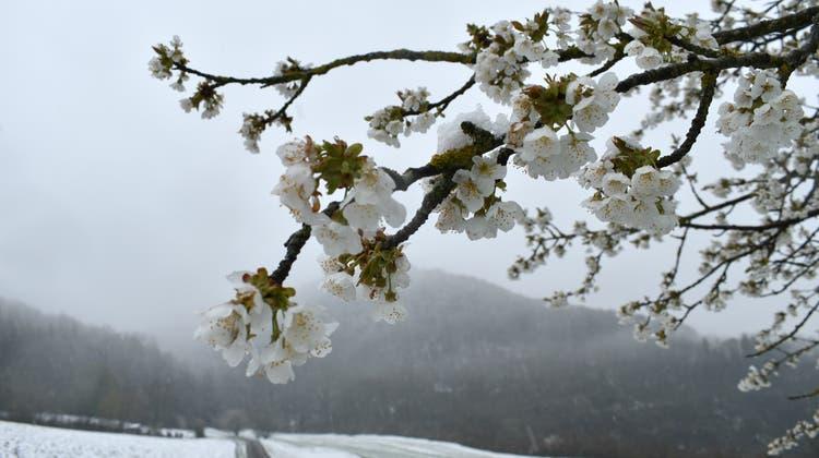 Kirschbäume tragen bereits Knospen – Obstbauern fürchten nun den Frost