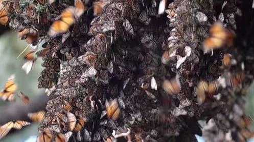 So klingt es, wenn Millionen von Schmetterlingen durch die Luft fliegen😍🦋